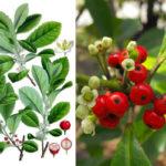 Как растет, цветет и плодоносит падуб парагвайский
