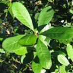 листья парагвайского падуба, чай матэ
