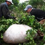 ручной сбор чая матэ, листьев парагвайского падуба