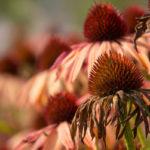 сухие цветки эхинацеи