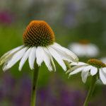 белые цветы эхинацеи
