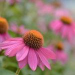 цветение эхинацеи