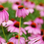 эхинацея цветет