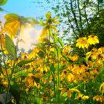 эхинацея желтого цвета