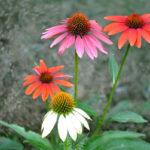 эхинацея разных цветов