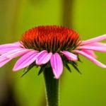 эхинацея пурпурная, цветок