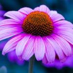 пурпурная эхинацея