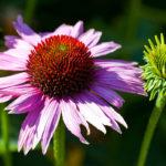 цветок и бутон эхинацеи