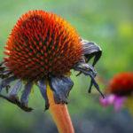 сухой цветок эхинацеи