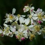 так цветет лабазник