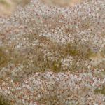 цветы дланевидного лабазника