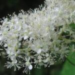 цветение лабазника камчатский