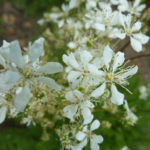 цветы лабазника