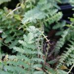 листья лабазника обыкновенного