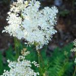 цветение таволги обыкновенной