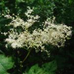 цветение лабазника