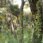 Люцерна древовидная, Medicago arborea