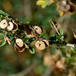 люцерна древовидная, плоды