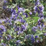 синие цветы люцерны