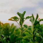листья люцерны