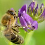 цветок люцерны, пчела, мед