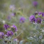 люцерна цветет